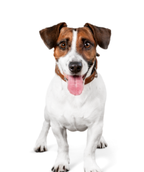 Lodge Dog